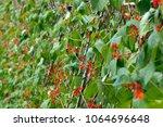 abundant red blossom on a row...   Shutterstock . vector #1064696648