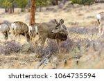Mule Deer   Close Up View Of...