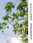 ceiba pentandra full bloom of... | Shutterstock . vector #1064771174