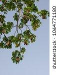 ceiba pentandra full bloom of... | Shutterstock . vector #1064771180