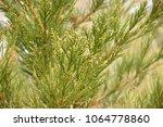 detail of sequoiadendron...