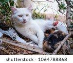Stock photo beautiful white cat mama with drinking kitten 1064788868