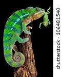 A Male Panther Chameleon Is...