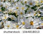 White Flowers  Cosmos...