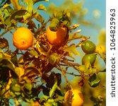 lemon. ripe lemons hanging on...   Shutterstock . vector #1064825963