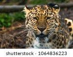 amur leopard  panthera pardus... | Shutterstock . vector #1064836223