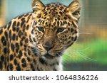 amur leopard  panthera pardus... | Shutterstock . vector #1064836226