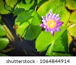 purple water lily flower.... | Shutterstock . vector #1064844914