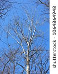 Small photo of Spring asp tree on blue sky in forest.