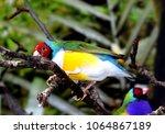the gouldian finch  erythrura... | Shutterstock . vector #1064867189