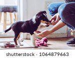 Stock photo cute puppy training paw command chewing kibble 1064879663