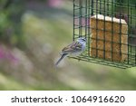 a single cute chipping sparrow  ... | Shutterstock . vector #1064916620