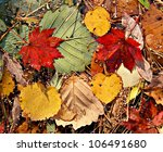 Autumnal Colored Leaves  Maple...