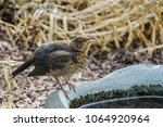 A Young Blackbird Is Sitting A...