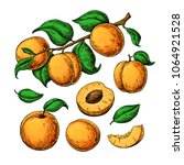 apricot vector drawing set.... | Shutterstock .eps vector #1064921528