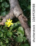 Small photo of Spring yellow flowers in the forest - Flowering pilewort, lesser celandine, Ranunculus ficaria