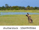 african wild dog  lycaon pictus ... | Shutterstock . vector #1064945066