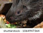 porcupine   the prickliest of... | Shutterstock . vector #1064947364
