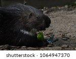 porcupine   the prickliest of... | Shutterstock . vector #1064947370