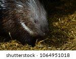 porcupine   the prickliest of... | Shutterstock . vector #1064951018
