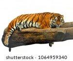 siberian tiger  panthera tigris ... | Shutterstock . vector #1064959340