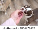 dog breed chihuahua gets pills  ... | Shutterstock . vector #1064974469