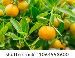 calamondine foliage and fruits... | Shutterstock . vector #1064993600