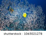 Small photo of Yellow fish swims in through white branching coral Acropora florida, in blue ocean