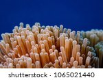 Small photo of Closeup of sea anemone, Anthozoa, Cnidaria tentacles