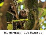 Cute Little Monkey  Callithrix...