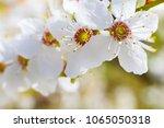 nice plum flowers on branch | Shutterstock . vector #1065050318
