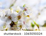 nice plum flowers on branch | Shutterstock . vector #1065050324
