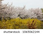 cherry blossom and yellow... | Shutterstock . vector #1065062144
