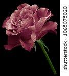bordo  rose.  flower on the... | Shutterstock . vector #1065075020