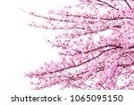 beautiful cherry blossom sakura ... | Shutterstock . vector #1065095150