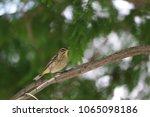 tiny savannah sparrow bird... | Shutterstock . vector #1065098186