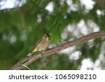 tiny savannah sparrow bird... | Shutterstock . vector #1065098210