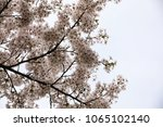 white cherry blossoms in full... | Shutterstock . vector #1065102140