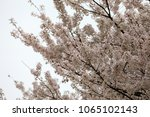 white cherry blossoms in full... | Shutterstock . vector #1065102143