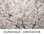 white cherry blossoms in full... | Shutterstock . vector #1065102146