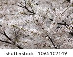 white cherry blossoms in full... | Shutterstock . vector #1065102149
