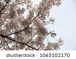 white cherry blossoms in full... | Shutterstock . vector #1065102170