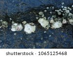 Small photo of Acorn barnacles / Rock barnacles