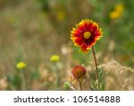 Feral Indian Blanket Flower In...