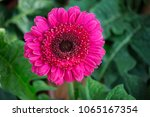 Close Up Of Pink Gerbera...