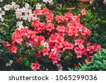 Blooming Rhododendron Selectio...