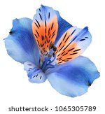 Stock photo flower blue red alstroemeria on a white isolated background with clipping path 1065305789