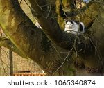 Small photo of Lazy black and white cat resting on green tree. Belgium Ardens.