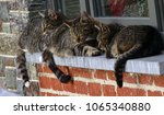 Small photo of Three lazy, striped resting cats, on brick wall windowsill during sunny, warm spring day. Belgium, Ardens