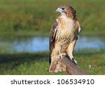 Red Tailed Hawk On A Tree